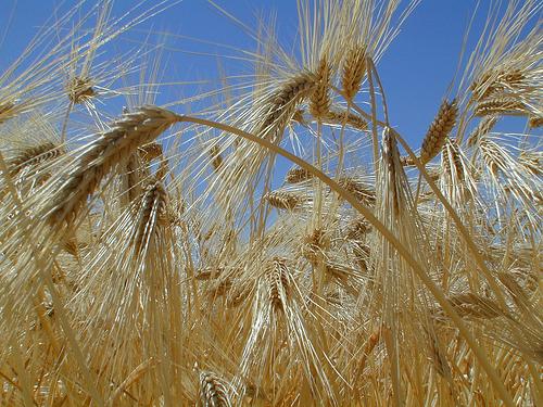 Barley grain.