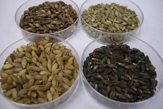 Barley in petri dishes.
